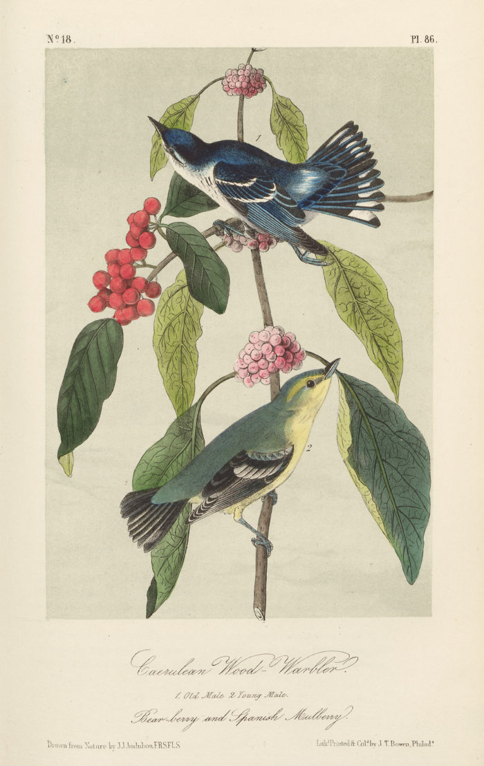 Caerulean Wood-Warbler - Bear-berry and Spanish Mulberry