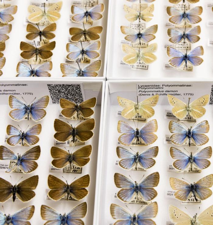 Weissdolch-Bläulinge (Polyommatus damon), Entomologische Sammlung der ETH Zürich.