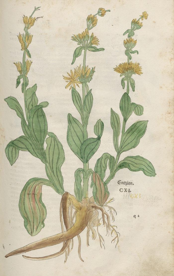 Enzian [Gentiana lutea, Gelber Enzian], handkoloriert
