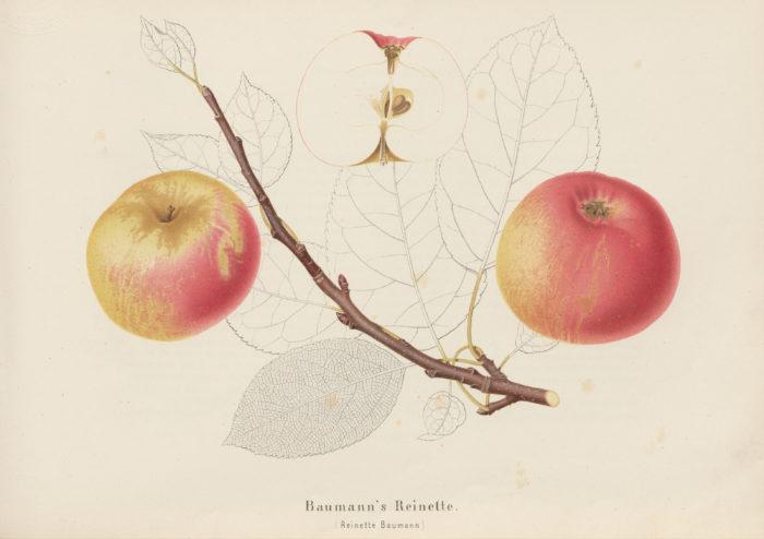 Apfel Baumann's Reinette (Reinette Baumann)